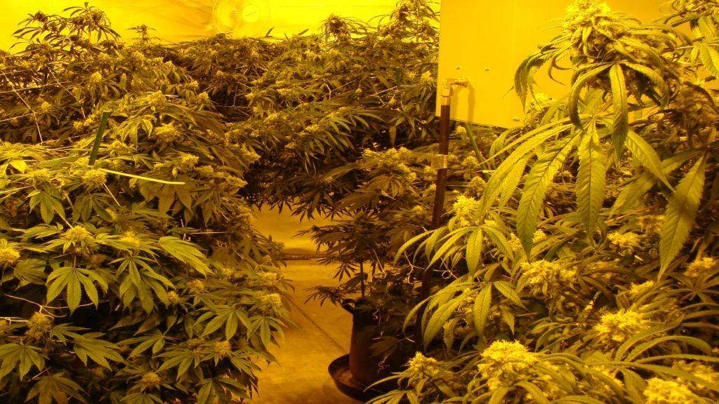 Pueblo West Marijuana Bust1