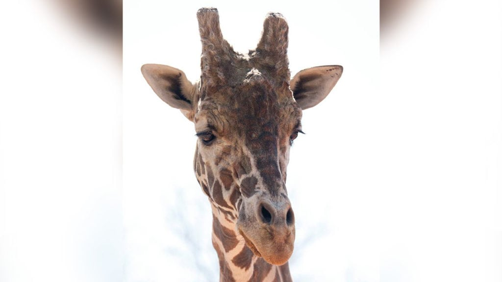 Dikembe the giraffe