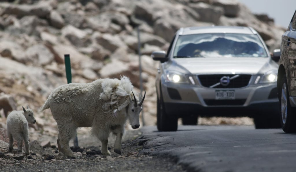 Mount Evans Scenic Byway, mountain goat and kid