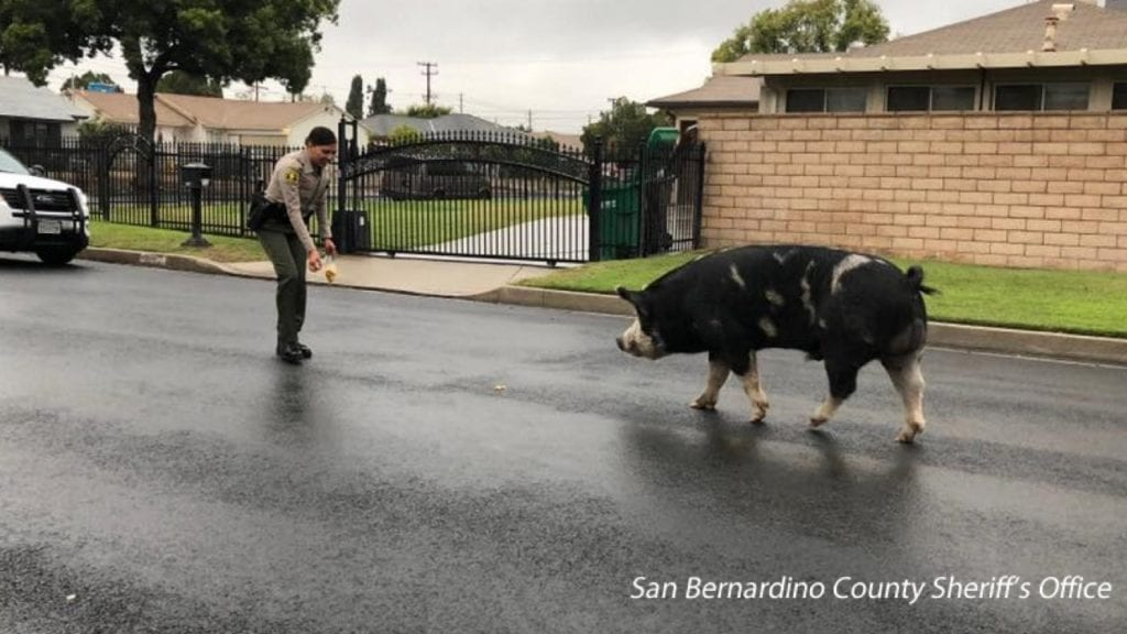 San Bernadino County Pig