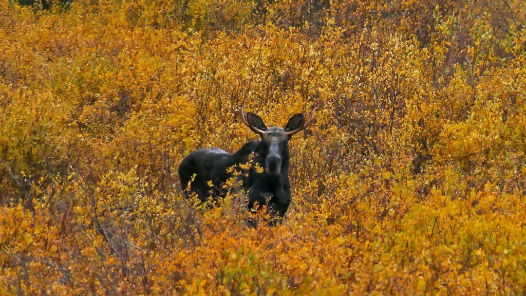 Moose near Grand Mesa