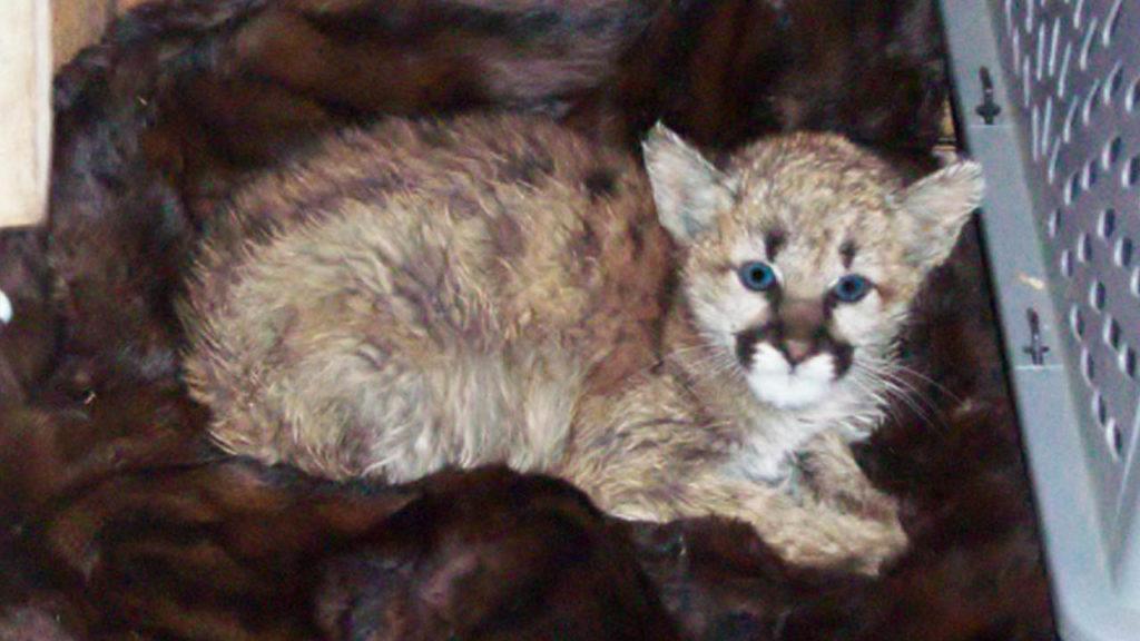 Baby mountain lion
