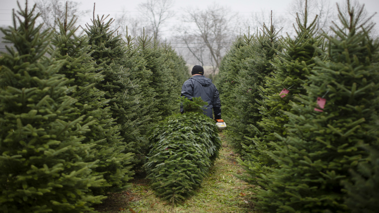 2020 Christmas Tree Permits Colorado Christmas Tree permits move online for purchase due to COVID 19