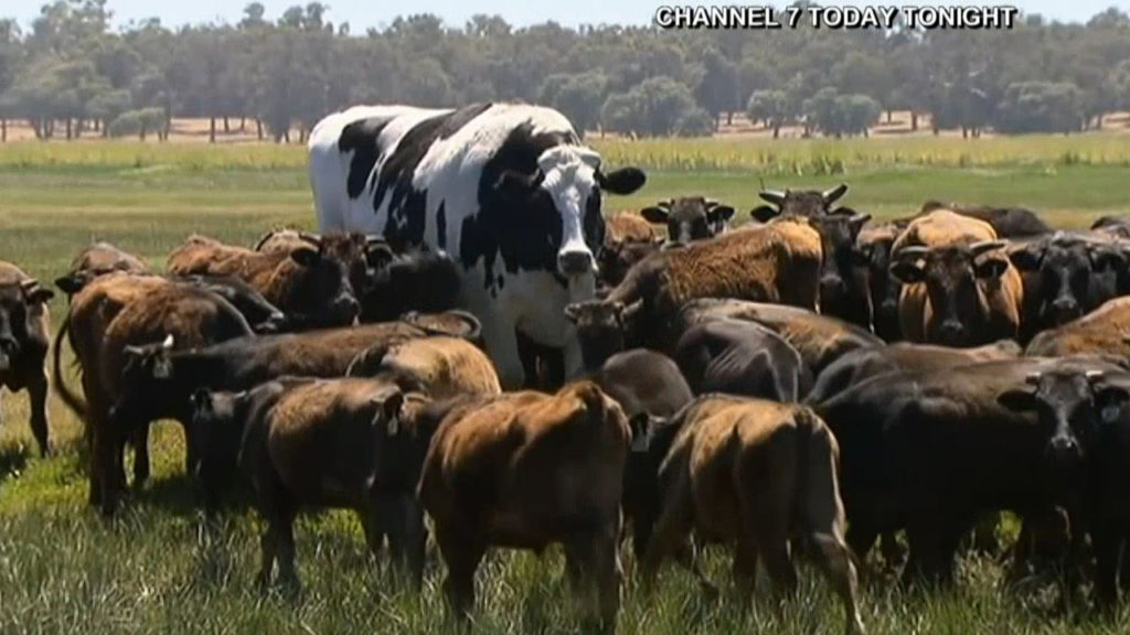 Australia cow