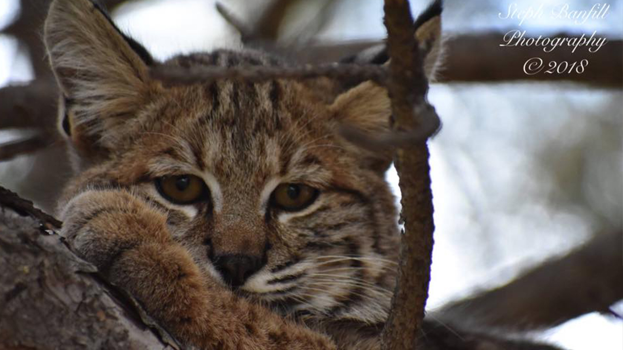 Staredown with a Bobcat