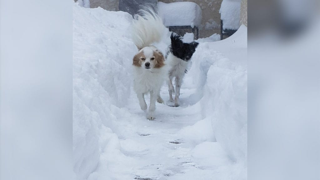 Two dog snow