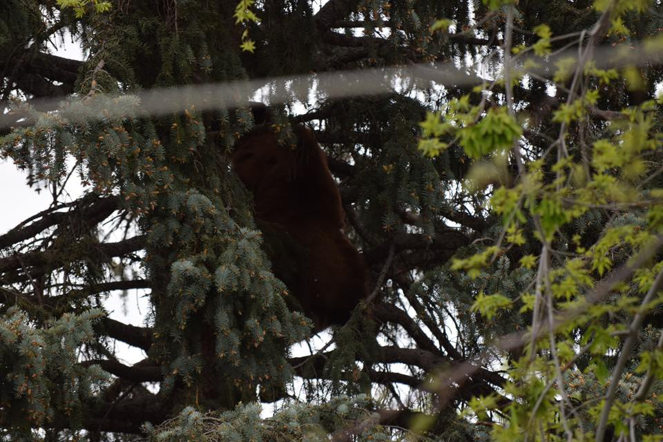 A bear is forced into a tree in the heart of a Colorado Springs neighborhood on May 16, 2019.