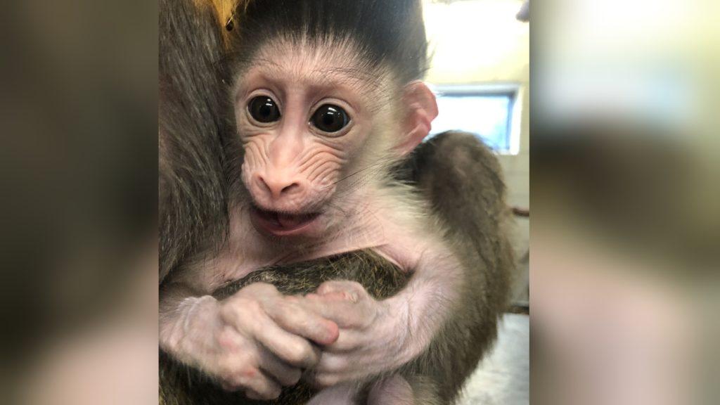 Denver Zoo baby mandrill