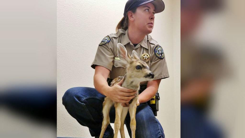 CPW Baby Deer