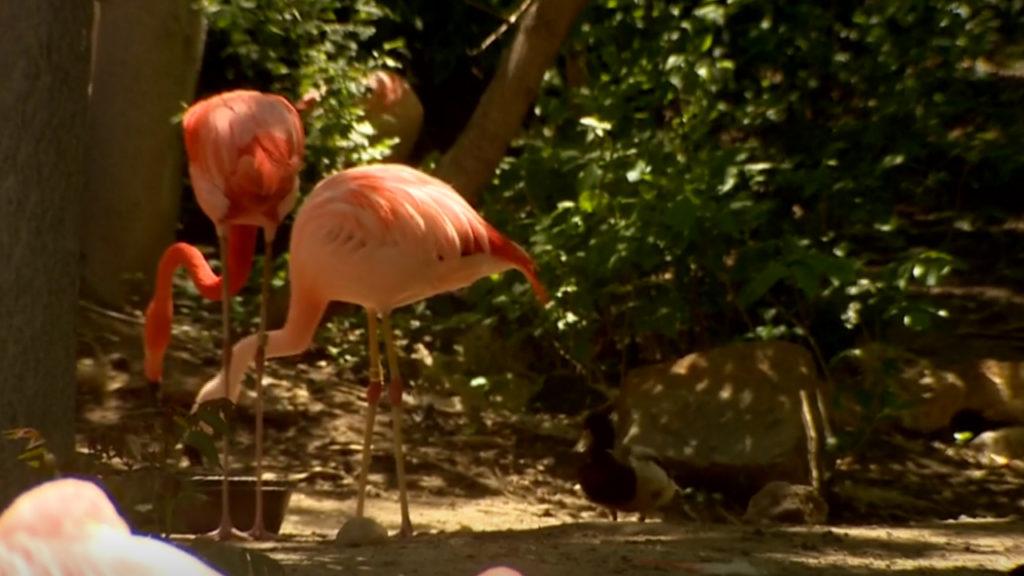 Denver Zoo same -sex flamingos